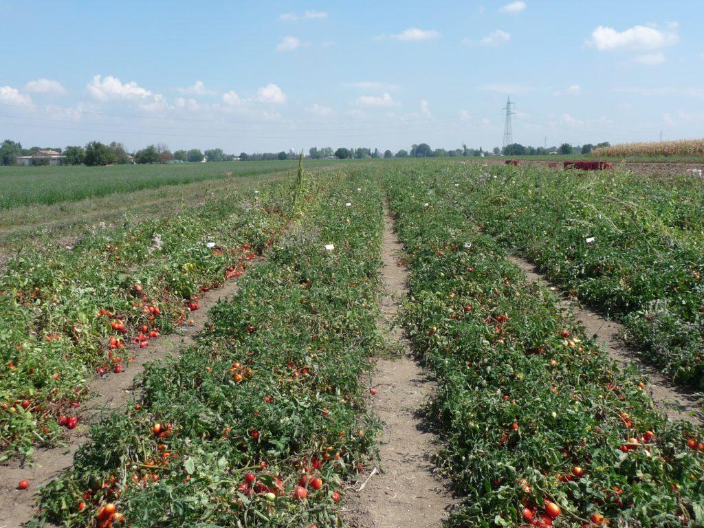 Coltivazione del pomodoro biologico