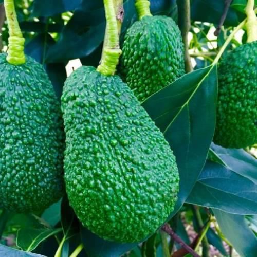 Coltivare l'avocado: uno tra i frutti esotici più ricercati!