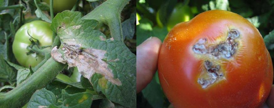 Tignola del pomodoro
