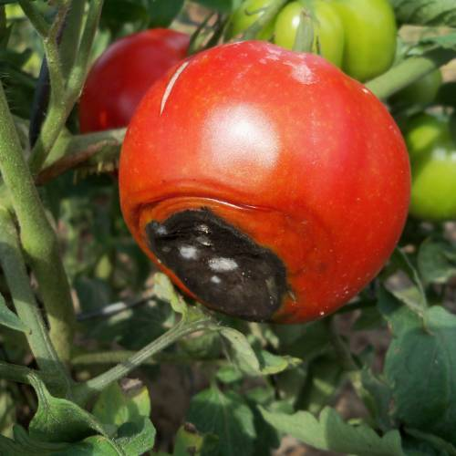 Marciume apicale del pomodoro oppure come evitare la punta nera?