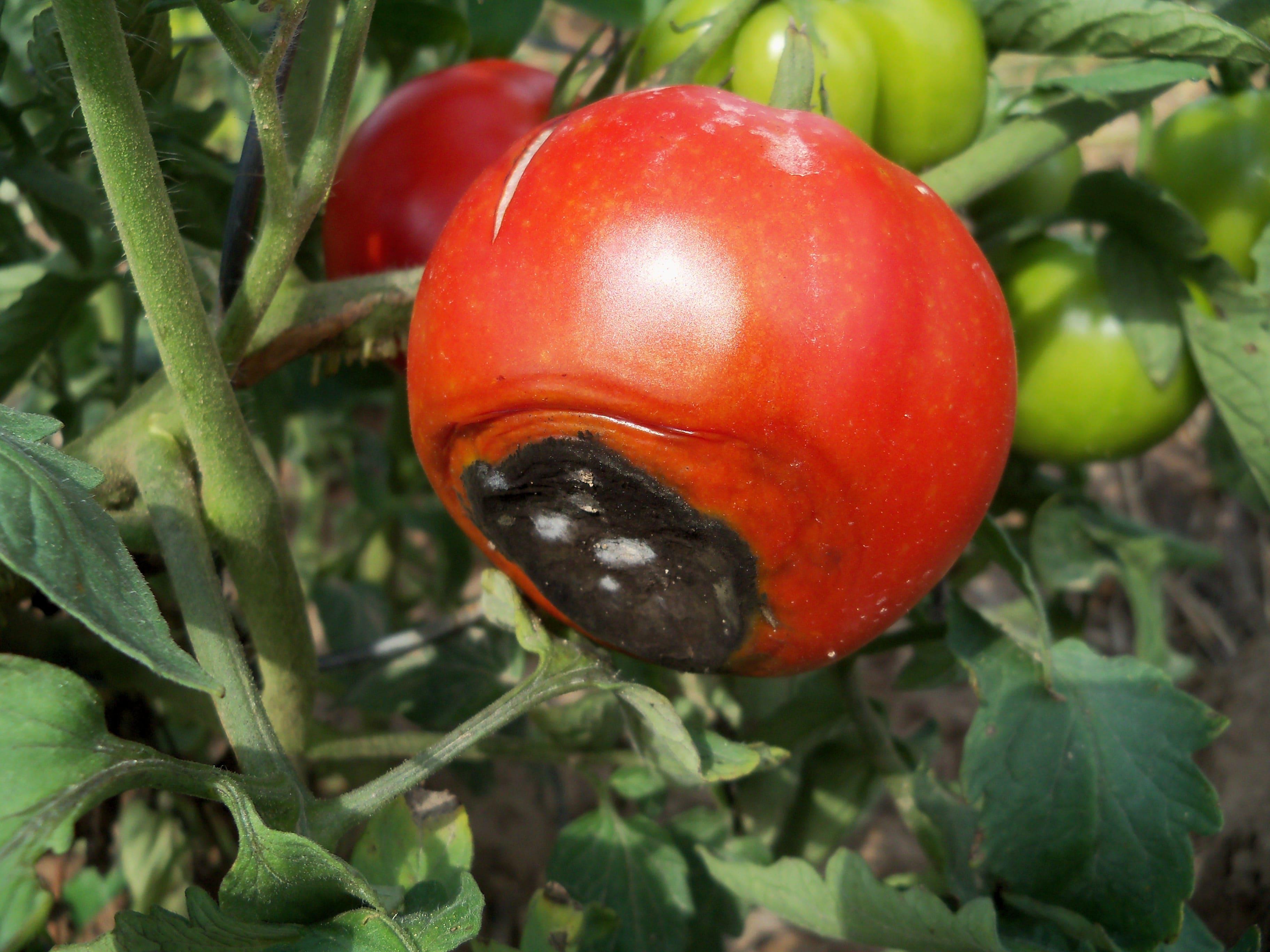 Marciume apicale del pomodoro oppure come evitare la punta - Cimice del pomodoro ...