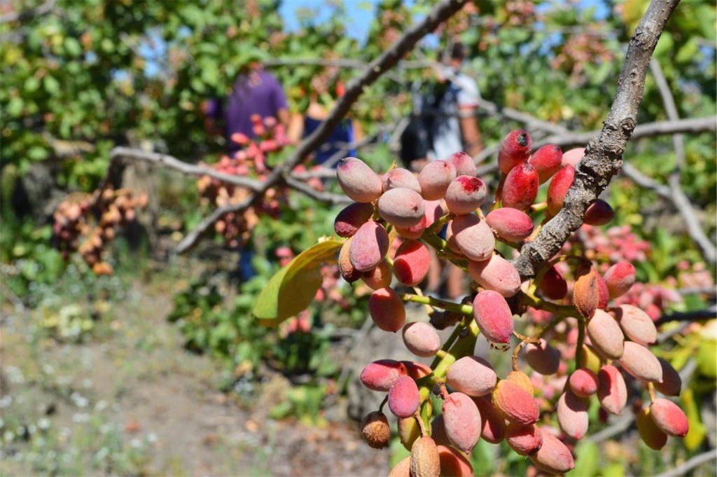 Coltivazione del pistacchio