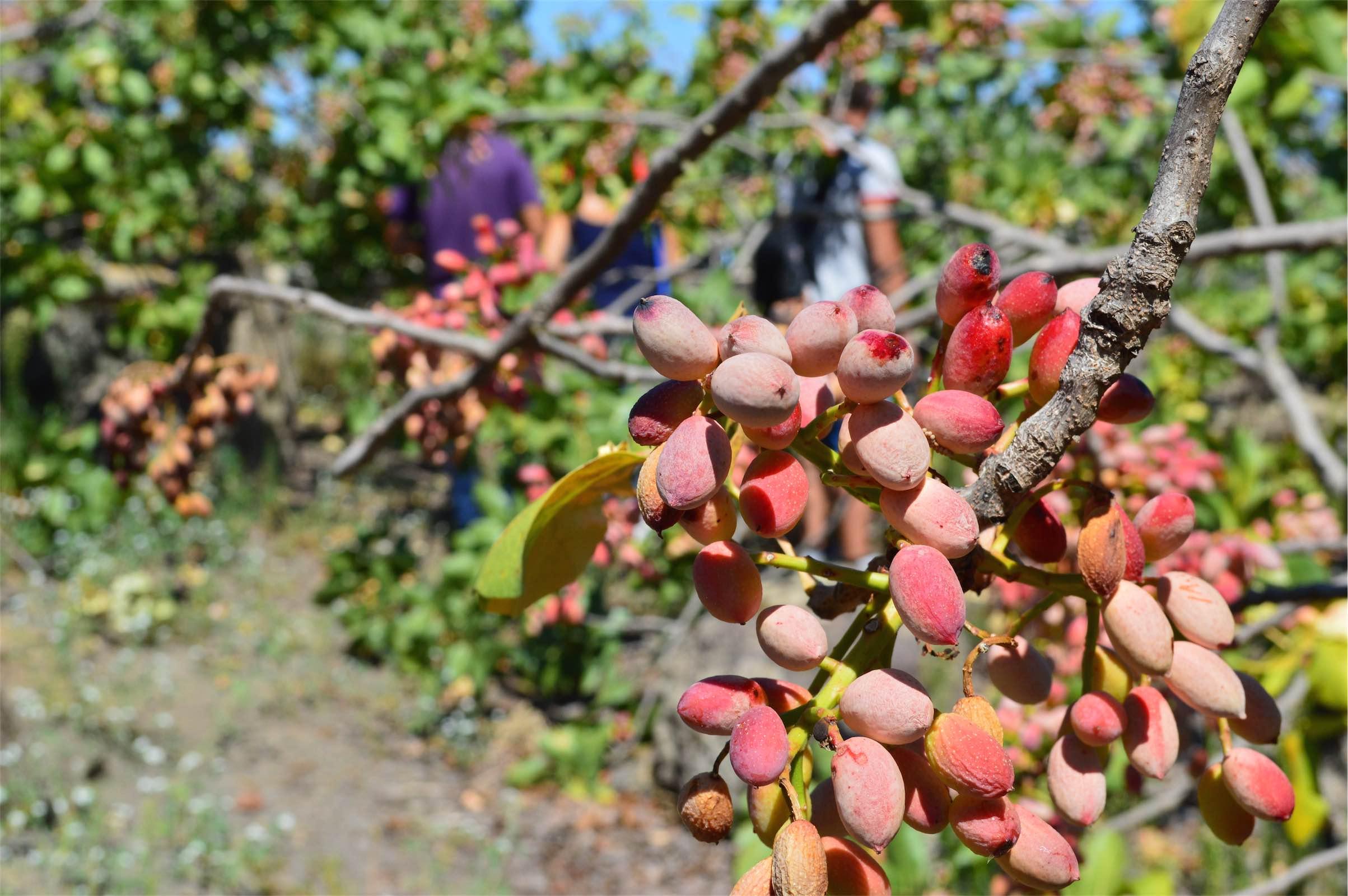 Come Piantare Il Mango coltivare il pistacchio: il prezioso oro verde! - agricoltura365