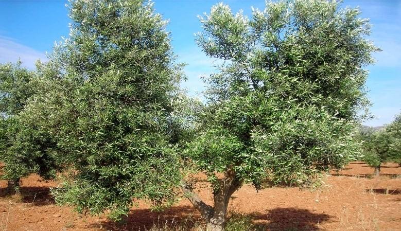 """Sistema di potatura ulivo a forma di allevamento """"vaso policonico"""""""