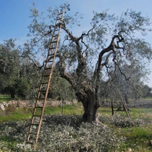 Potatura olivo: 5 regole fondamentali. Ecco come fare!
