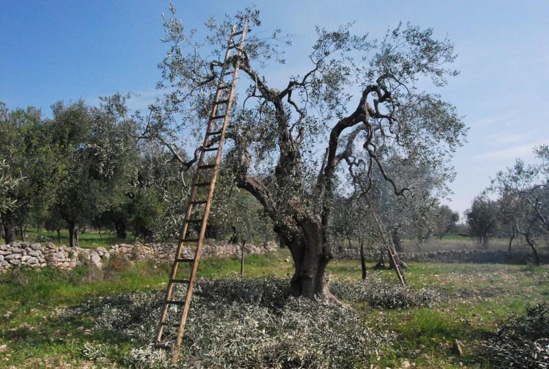come curare gli ulivi